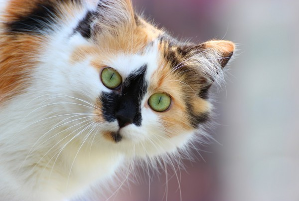 A white, orange and black cat with green eyes looking at the camera