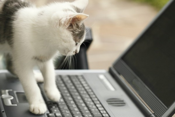 A white and back cat walking on a laptop