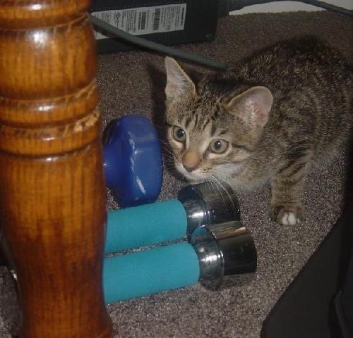 A brown striped kitten