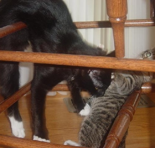 Two cats playing in between chair legs