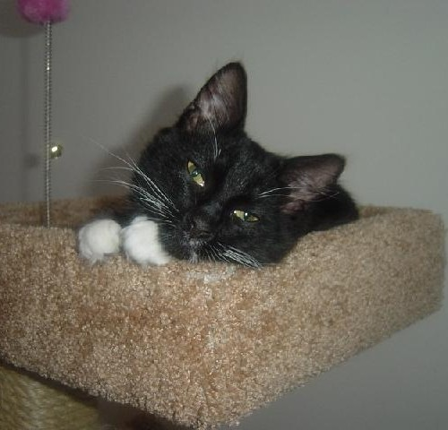 A black and white cat falling asleep on top of a cat tower
