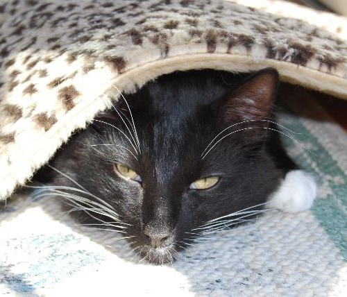 A black and white cate sleeping under a blanket