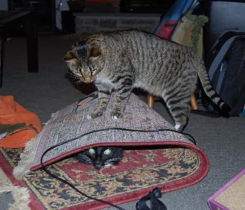 A cat wrapped up in a carpet while another cat steps on top of the carpet