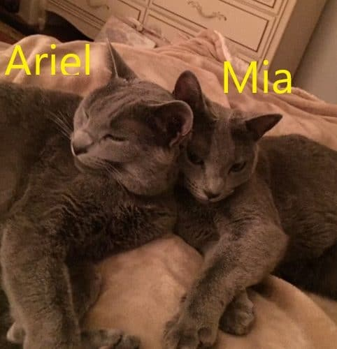 Two grey cats snuggling together named Ariel and Mia