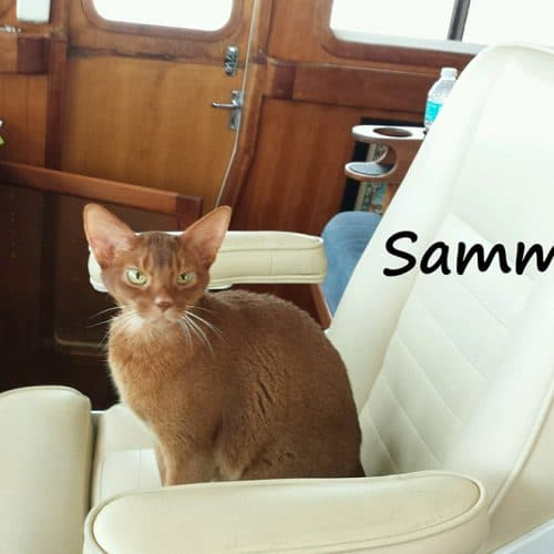 A thin caramel colored cat named Sammy