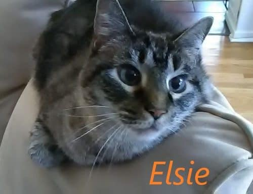 A grey and white striped cat named Elsie Hansell