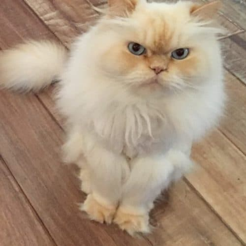 A fluffy white cat with blue eyes named Lincoln
